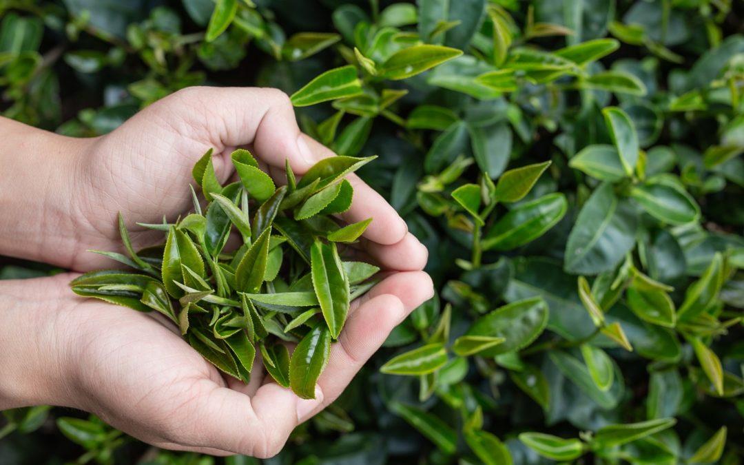 Thé vert : quels bienfaits pour la santé ?
