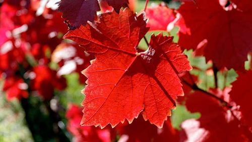 Les vertus de la vigne rouge